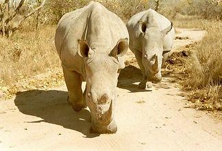 white rhino-MP.jpg
