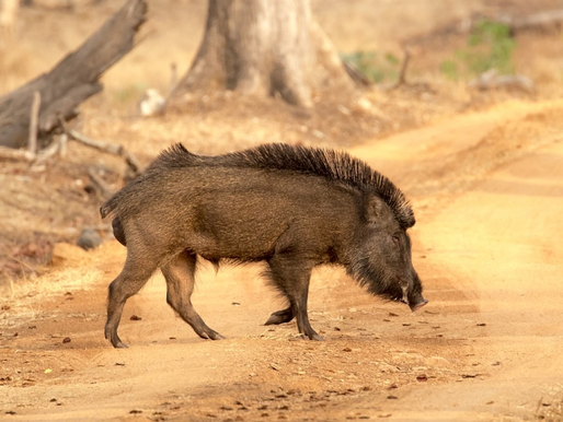 Tuberculosis control in Eurasian wild boar by parenteral vaccination with heat-inactivated M. bovis