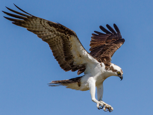 May 2021, 23rd - free, live, interactive LafeberVet webinar Structure and Function in Raptors