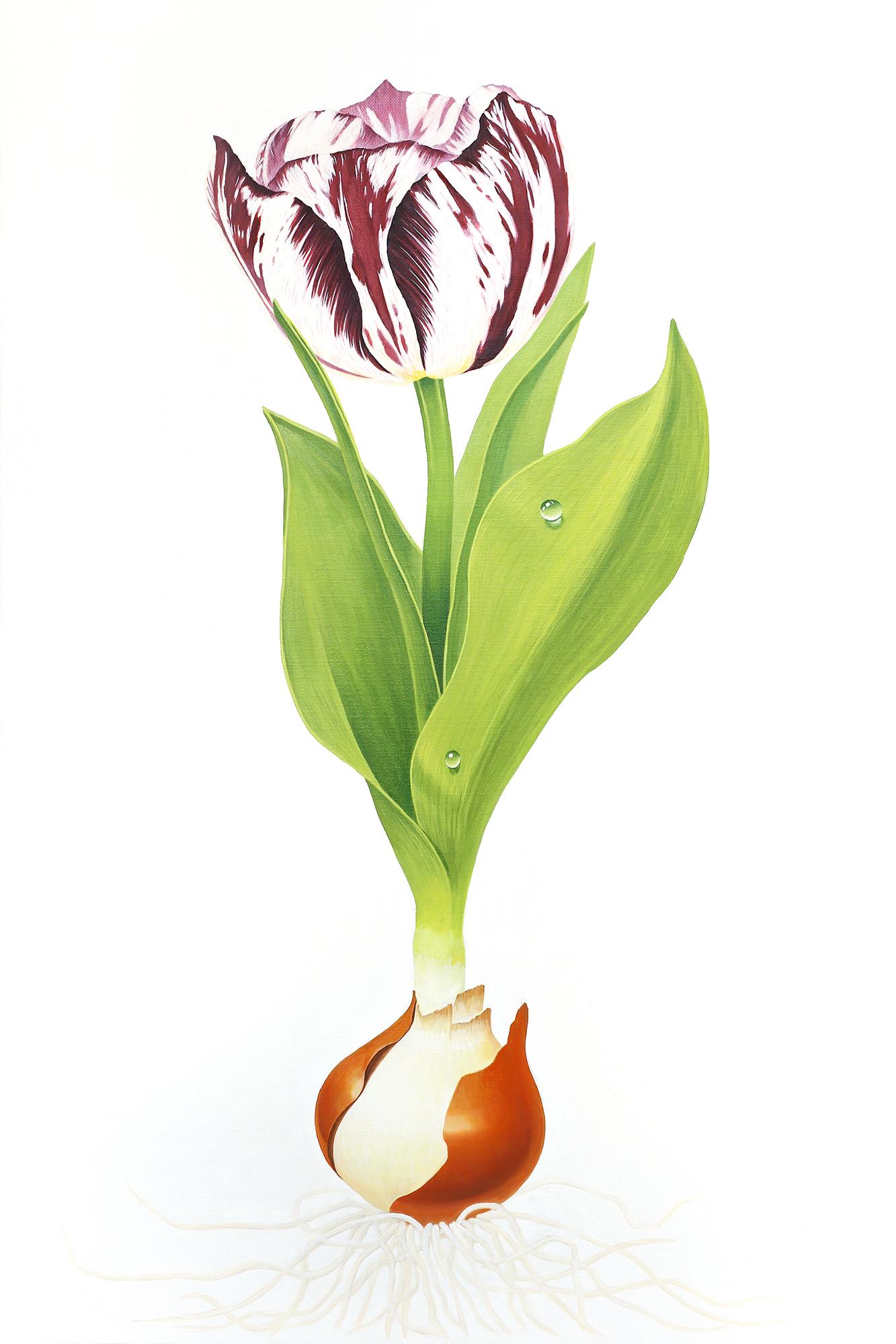 Perennial Adonis Tulip