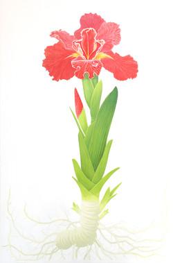 Perennial Louisiana Iris