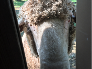Larry ... the Sheep writes her Blog