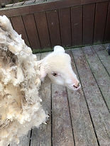 Lamb with wool