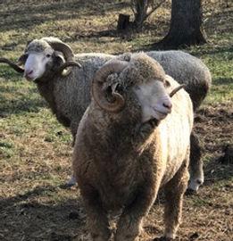 Rambouillet Rams