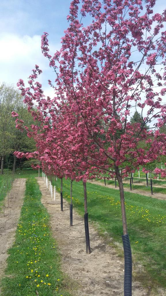 Purple Prince Crabapple