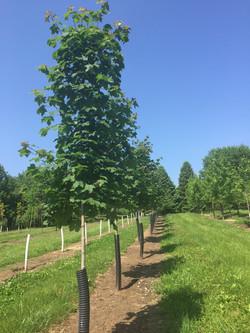 Emerald Lustre Maple