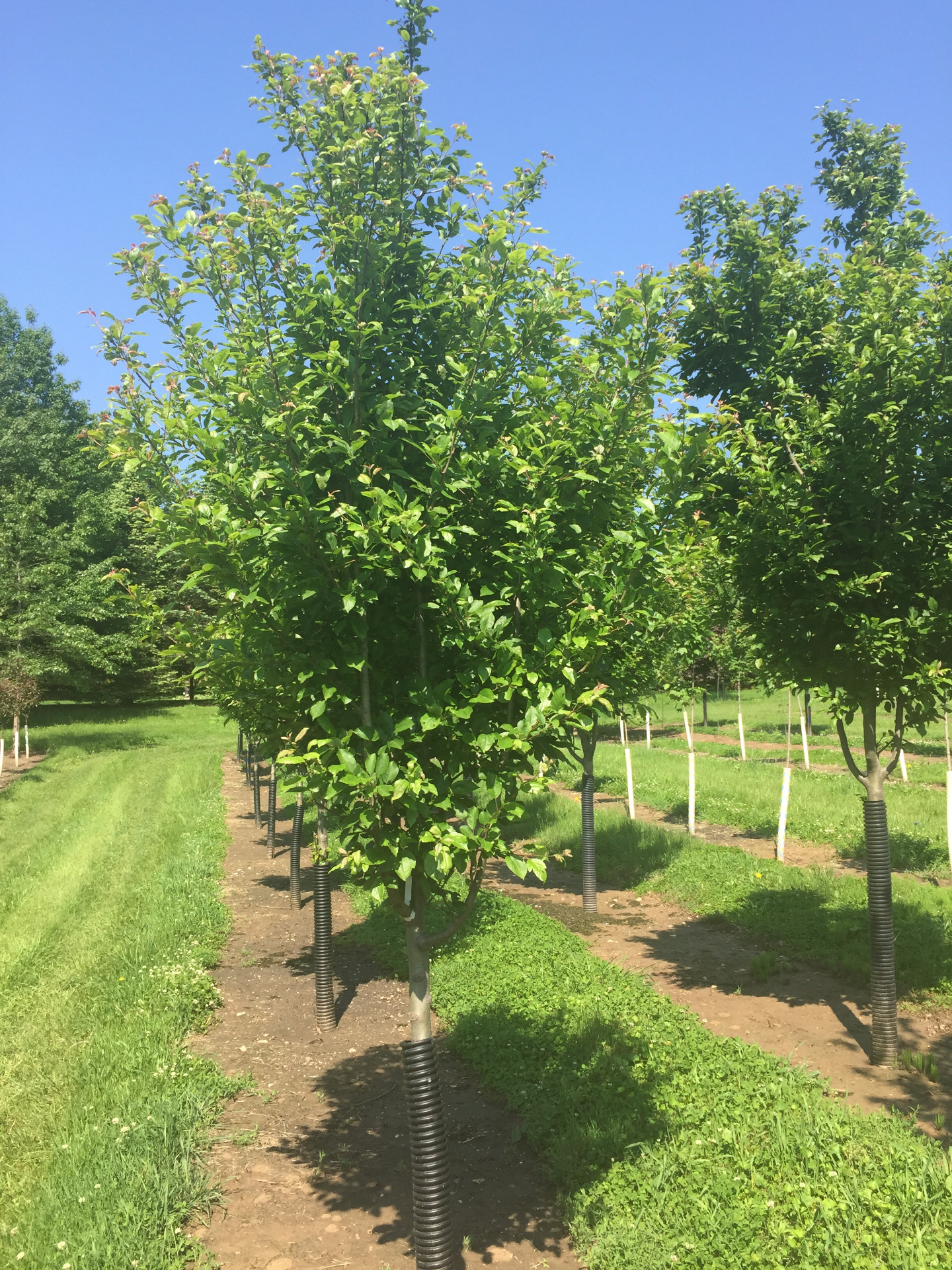 Harvest Gold Crabapple