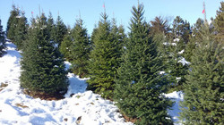 Frost Tree Farms Christmas