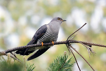 cuckoo is a bird thriving in the forest.