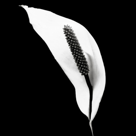 A black and white photograph of a flower against a black background.
