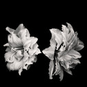 A black and white photograph of a flower.