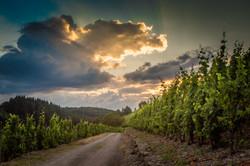 Saarburg vineyards