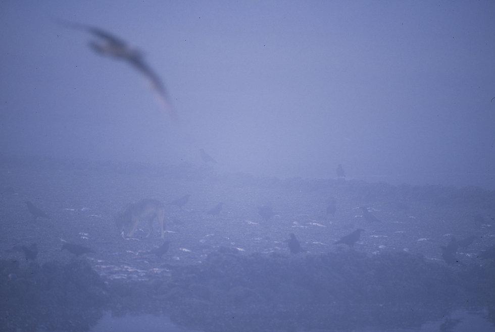 Credit Chris Darimont wolf fog trap.jpg