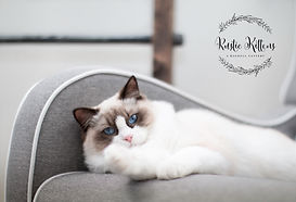 Ragdoll, ragdoll kitten, ragdoll cat, seal point ragdoll, blue point ragdoll, lilac point ragdoll, chocolate point ragdoll, seal colorpoint, blue colorpoint, lilac colorpoint, chocolate colorpoint, seal bicolor, seal bicolor ragdoll, seal point bicolor ragdoll, blue bicolor, blue bicolor ragdoll, blue point bicolor, blue point bicolor ragdoll, lilac bicolor, lilac bicolor ragdoll, lilac point bicolor ragdoll, chocolate bicolor, chocolate bicolor ragdoll, chocolate point bicolor ragdoll, seal point mitted, seal mitted, seal point mitted ragdoll, seal mitted ragdoll, blue point mitted, blue mitted, blue point mitted ragdoll, blue mitted ragdoll, lilac point mitted, lilac mitted, lilac point mitted ragdoll, lilac mitted ragdoll, chocolate point mitted, chocolate mitted, chocolate point mitted ragdoll, chocolate mitted ragdoll, ragdoll kittens for sale, ragdoll kittens available, kittens for sale, kittens for adoption, ragdoll adoption, ragdoll cattery, ragdoll breeder, tica breeder