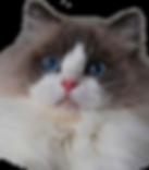 Ragdoll, ragdoll kitten, ragdoll cat, seal point ragdoll, blue point ragdoll, lilac point ragdoll, chocolate point ragdoll, seal colorpoint, blue colorpoint, lilac colorpoint, chocolate colorpoint, seal bicolor, seal bicolor ragdoll, seal point bicolor ragdoll, blue bicolor, blue bicolor ragdoll, blue point bicolor, blue point bicolor ragdoll, lilac bicolor, lilac bicolor ragdoll, lilac point bicolor ragdoll, chocolate bicolor, chocolate bicolor ragdoll, chocolate point bicolor ragdoll, seal point mitted, seal mitted, seal point mitted ragdoll, seal mitted ragdoll, blue point mitted, blue mitted, blue point mitted ragdoll, blue mitted ragdoll, lilac point mitted, lilac mitted, lilac point mitted ragdoll, lilac mitted ragdoll, chocolate point mitted, chocolate mitted, chocolate point mitted ragdoll, chocolate mitted ragdoll, ragdoll kittens for sale, ragdoll kittens available, kittens for sale, kittens for adoption, ragdoll adoption, ragdoll cattery, ragdoll breeder, tica breeder