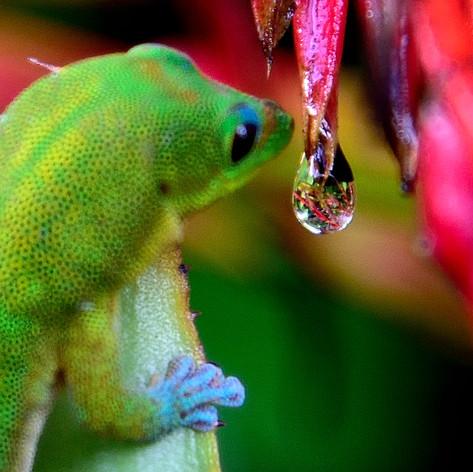 Rain drop and Gecko