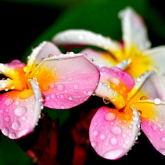 Rain on the Plumeria flower