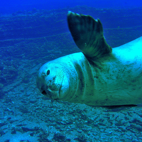 Seal Waves Hello