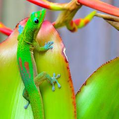 Gecko & Birds of Paradise