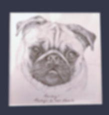 Graphite drwing of Harvey the pug_edited