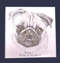 Graphite Drawing of Harvey the Pug
