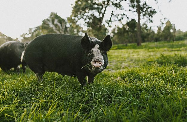 Hamlet free range Bershire pork