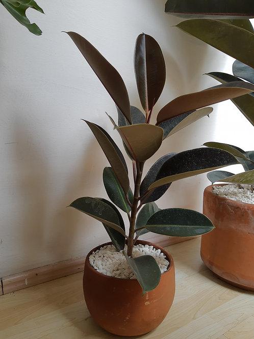 Hule Ficus Mediana