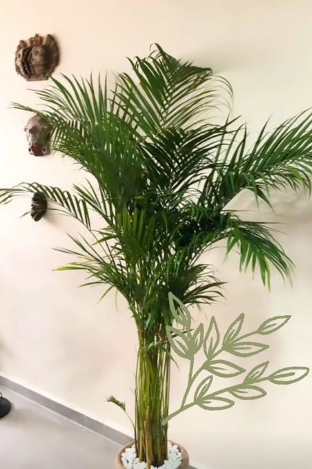 Palma Areca Maceta Barro
