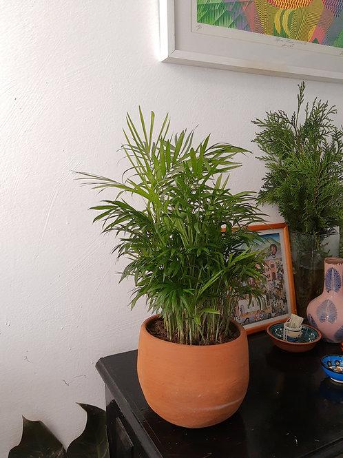 Palma Pacaya Mini