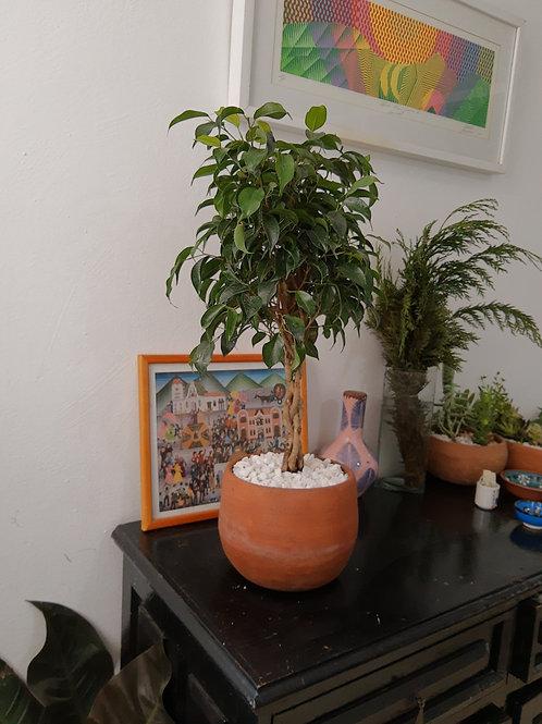 Ficus Benjamina Mini