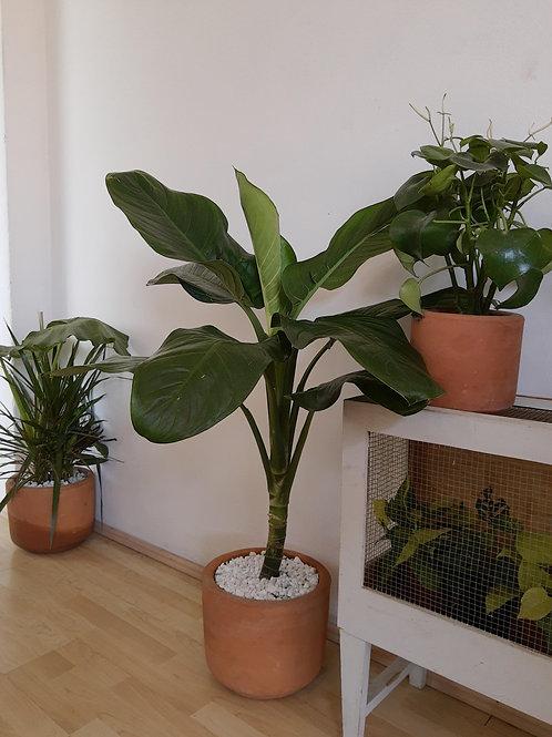 Planta Orejona