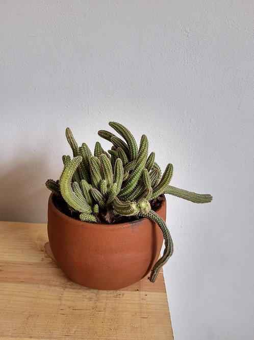 Cactus Cacahuate