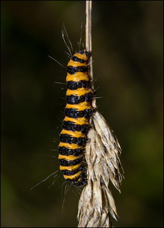 Cinnabar Moth Caterpillar_150.jpg