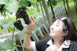 酒堡庄栽種的葡萄