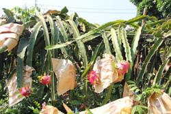 包上紙袋來防蟲