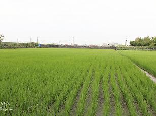 彰化大有社區金碳稻田