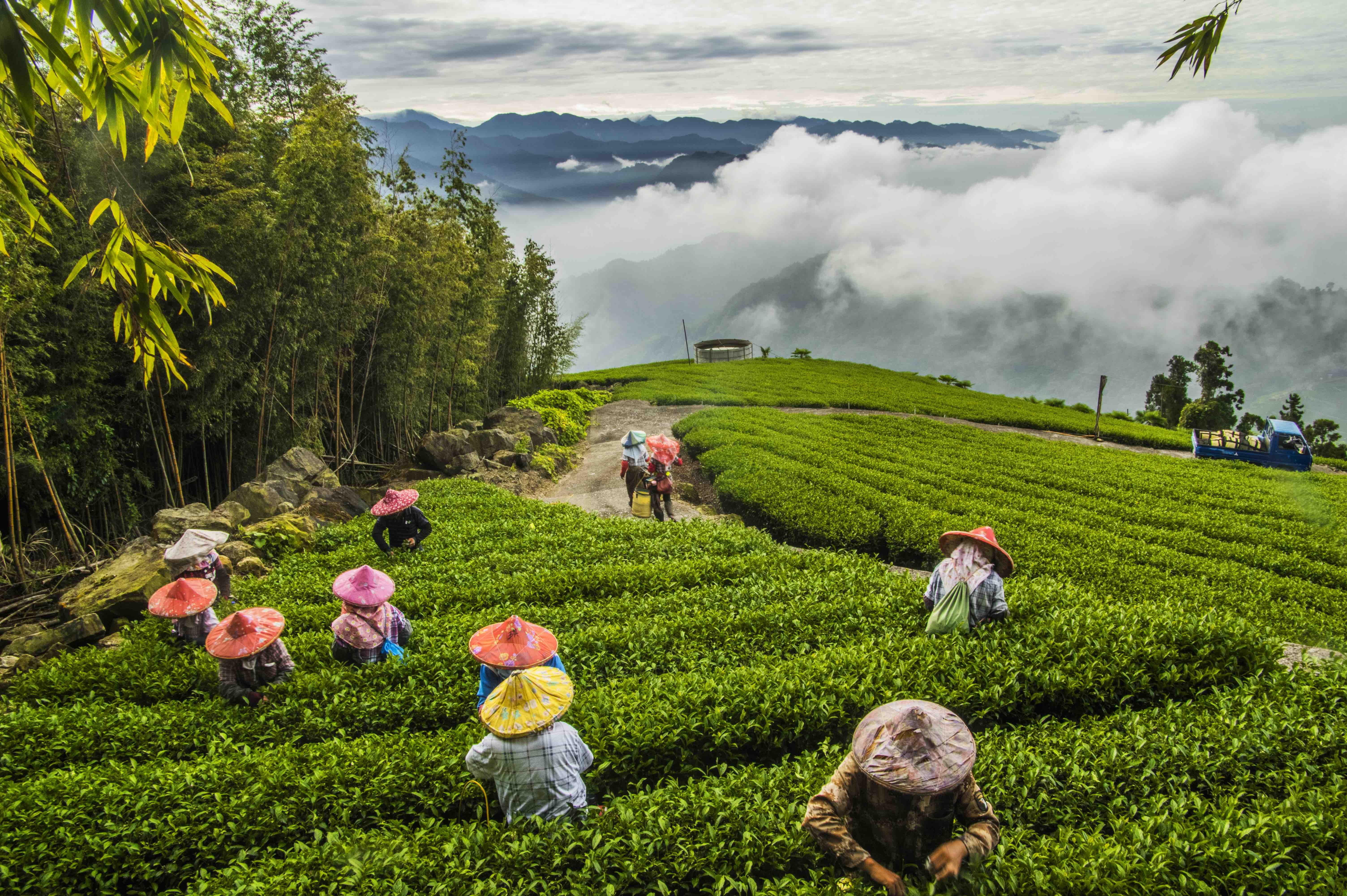 阿里山之茶園美景-1