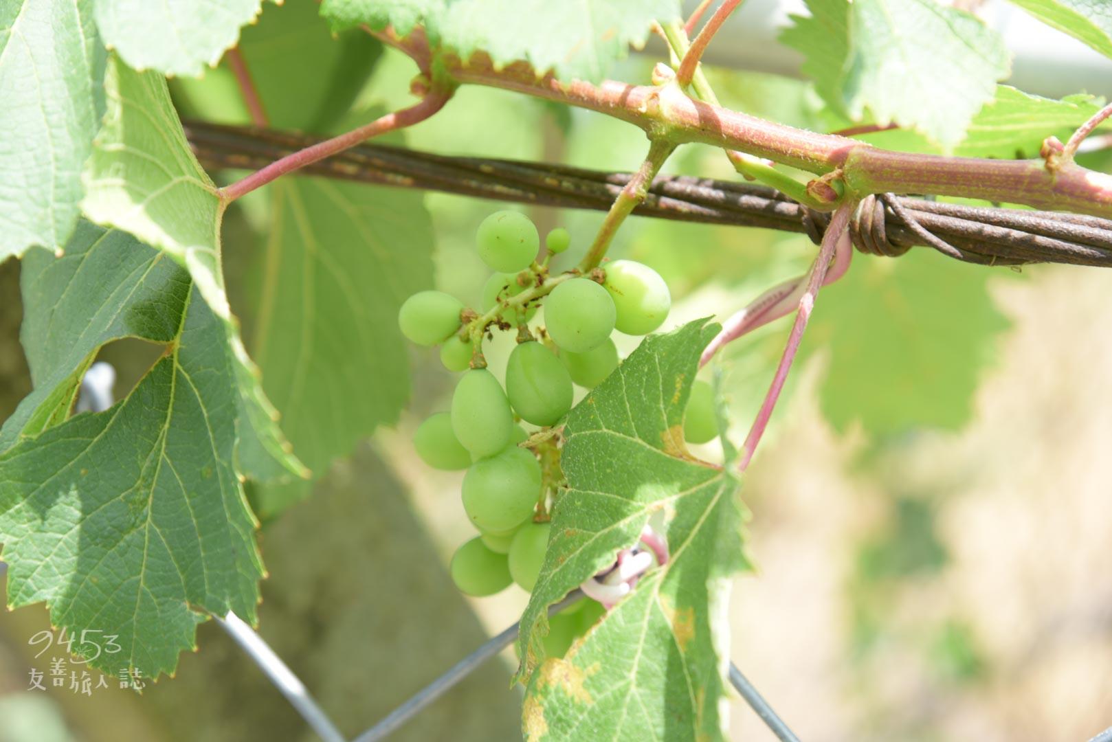 虎腳庄特產 葡萄