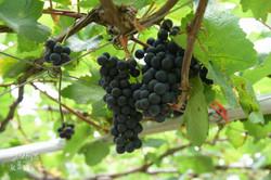 美味的葡萄