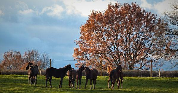 Foals pur sang - pension élevage