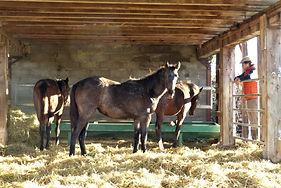 Foals en stabulation - pension élevage
