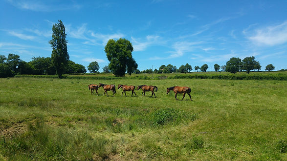 Elevage pur sang & AQPS Bourgogne - Pension chevaux repos