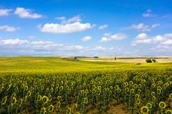 Sunflower field, Castilla, Spain