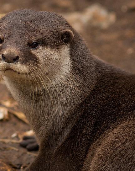 Otter VIP