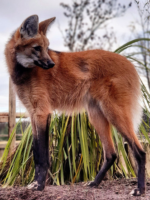 Maned Wolf Care Package
