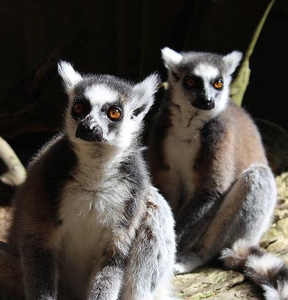 Meet the Lemurs