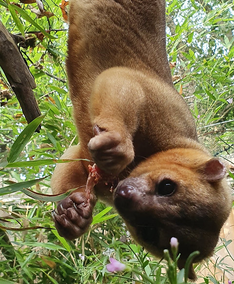 Meet the Kinkajous