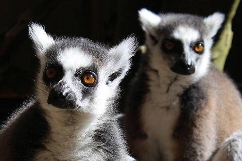 Lunch for the Lemurs (Lemur Care Package)