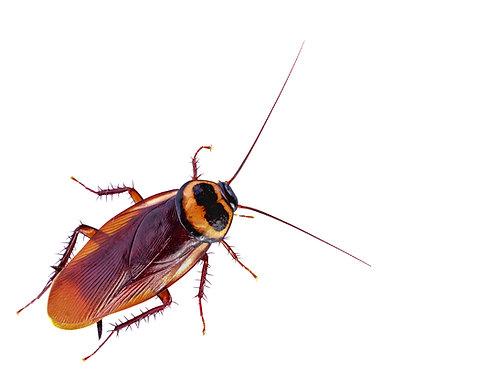 Name A Cockroach