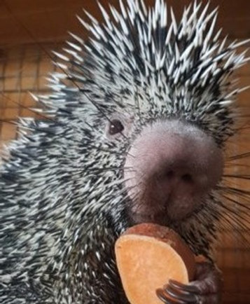 Meet the Porcupines